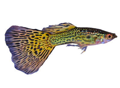 "Image credit: ""Guppy1trasp.png"" by D3LL (CC BY-SA 3.0)"