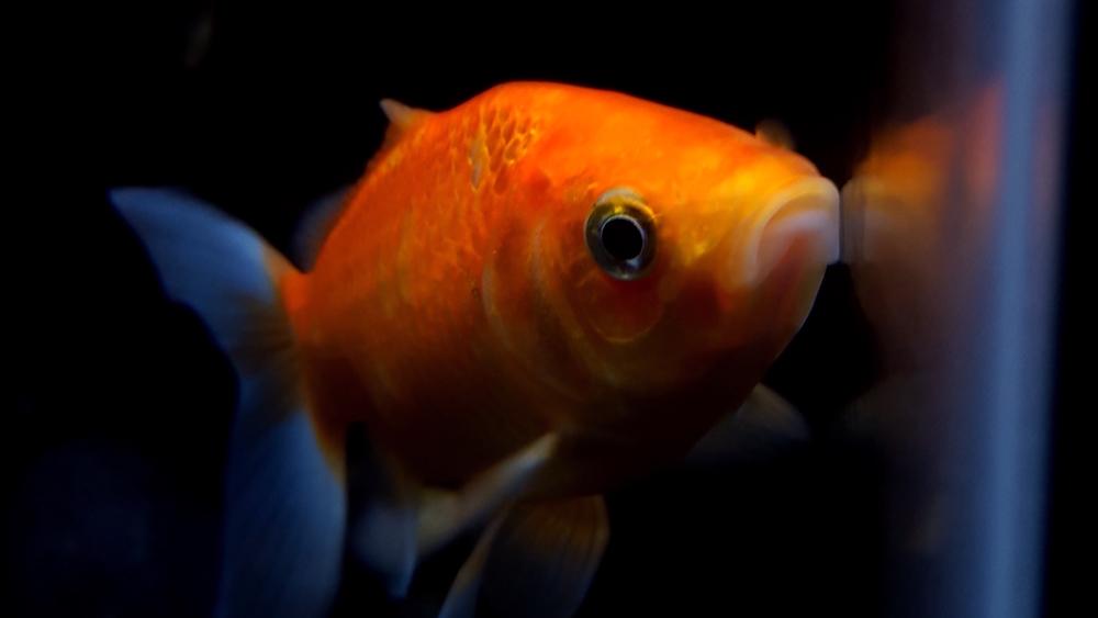 Caramel the Goldfish
